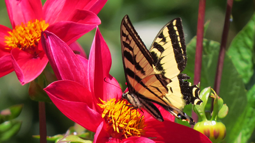 Swallowtail on flowers grown with GroCo compost